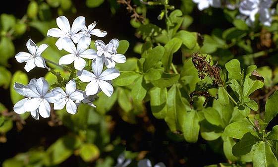 обрабатывать листья фикусов в сухих п